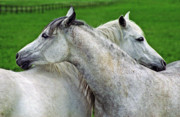 White Horses Photo Prints - Together Forever Print by Angel  Tarantella