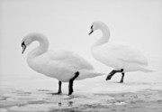 Swans... Prints - Together Print by Michael Peychich