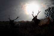 Deer Silhouette Prints - Tomales Bay California Tule Elks At Sunrise . 7D4402 Print by Wingsdomain Art and Photography