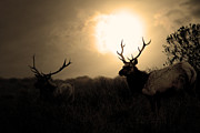 Deer Silhouette Framed Prints - Tomales Bay California Tule Elks At Sunrise . Golden . 7D4402 Framed Print by Wingsdomain Art and Photography