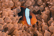 Y120831 Art - Tomato Anemonefish by Jones/Shimlock-Secret Sea Visions