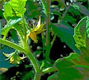 Padre Art Photos - Tomato Blooms by Padre Art