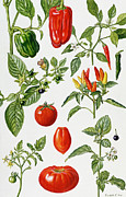Leafs Posters - Tomatoes and related vegetables Poster by Elizabeth Rice