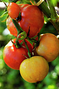 Unripe Prints - Tomatoes on vine Print by Sami Sarkis
