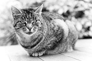 Pet Photo Prints - Tomcat Print by Frank Tschakert