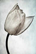 Growth Art - Toned Tulip by John Edwards