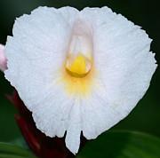 JISS JOSEPH - tongue of a wild flower