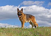Alsatian Photos - Top of the Hill by Sandy Keeton
