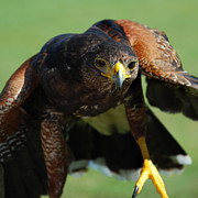 Red Tail Hawk Photo Posters - Top Raptor Poster by Skip Willits
