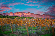 Grape Vineyard Posters - Topa Pink Moment Poster by Kristine Ellison