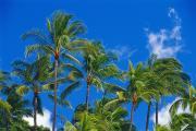 Lanai And Molokai And Other Hawaiian Islands - Tops Of Palms by Bill Brennan - Printscapes