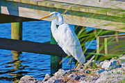 Topsail Island Photos - Topsail Egret by East Coast Barrier Islands Betsy A Cutler