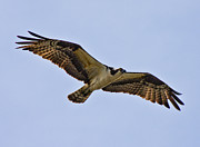 Topsail Island Posters - Topsail Osprey Poster by Betsy A Cutler East Coast Barrier Islands