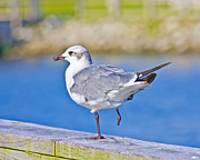 Topsail Island Photos - Topsail Seagull by East Coast Barrier Islands Betsy A Cutler