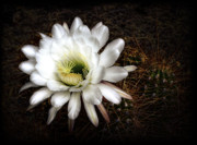 White Flower Photos - Torch Cactus - Echinopsis Candicans by Saija  Lehtonen