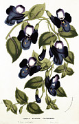 Stalk Paintings - Torenia Asiatica pulcherrima by Louis van Houtte
