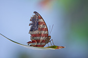 Usa Flag Prints - Torn American Butterfly Print by James Bo Insogna