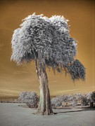 Infrared Art - Torrey Pine by Jane Linders
