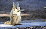 Squirrel Photos - TortillaThief by Fraida Gutovich