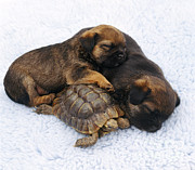 Puppies Photo Framed Prints - Tortoise And Sleepy Puppies Framed Print by Jane Burton