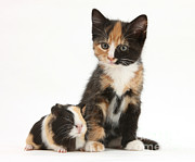 Tortoiseshell Prints - Tortoiseshell Kitten With Baby Print by Mark Taylor