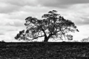 Oak Photos - Tortue Oak by Scott Pellegrin