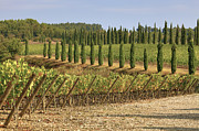 Wine Grapes Metal Prints - Toscana Metal Print by Joana Kruse