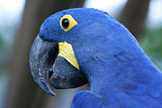 Hyacinth Macaw Posters - Totally Blue  Poster by Douglas Barnard