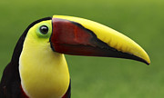 Juan Carlos Vindas Metal Prints - Toucan Portrait Metal Print by Juan Carlos Vindas