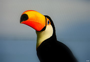 Toucan Metal Prints - Toucan (ramphastos Toco) Metal Print by T. Vossinakis, Paros island, Greece