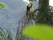Toucan Print Prints - Toucans Lunch Print by William Patterson