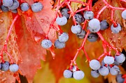 Blue Grapes Photos - Touch of Fall by Karen Jayne Yousse