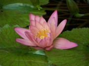 Water Lilly Photos - Touch of Pink by Karen Wiles