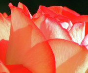 Roses Photos - Touch of Rose by Karen Wiles