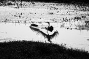 Egret Prints - Touchdown-Black and White Print by Douglas Barnard