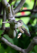 Quince Prints - Tough Hummingbird  Print by Carol Groenen