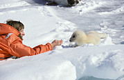 Beckoning Prints - Tourist And Harp Seal Pup Print by Chris Martin-bahr