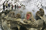 Macaques Prints - Tourists Watch A Group Of Snow Monkeys Print by Tim Laman