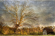 Towering Tree Prints - Towering Oak Barn Print by Benanne Stiens
