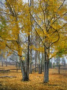 Fall Colors Photos - Towers of Gold by Ken Smith