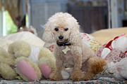Diana Haronis - Toy Poodle