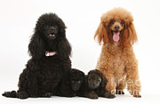 Toy Dog Posters - Toy Poodle Family Poster by Mark Taylor