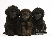 Toy Dog Posters - Toy Poodle Pups Poster by Mark Taylor