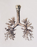 Lungs Posters - Trachea And Lung Bronchi Poster by Mehau Kulyk