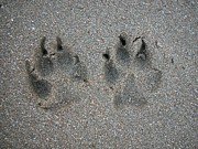 Dog Paw Print Posters - Tracks Of Dog In Sand Poster by Na