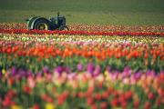 Ground Level View Framed Prints - Tractor In Tulip Field Framed Print by Craig Tuttle