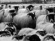 Ovine Framed Prints - Traffic Jam in glen Clova Framed Print by Paul and Fe Photography Messenger