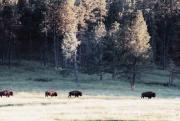 Bison Prints - Trail Of Bulls Print by Jan Amiss Photography