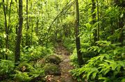 Quincy Dein Art - Trail through Forest - Kauai by Quincy Dein - Printscapes