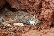 Bobcats Metal Prints - Tranquility Base Metal Print by Jeffrey Campbell